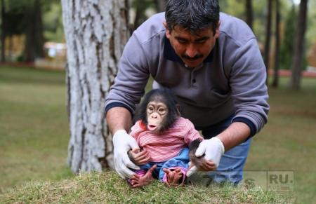 Прелестный шимпанзенок выбрал себе суррогатной матерью смотрителя турецкого зоопарка.