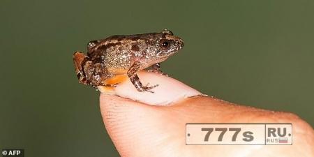 Лягушка с ноготок: семь крошечных новых видов амфибий обнаружено в Индии.