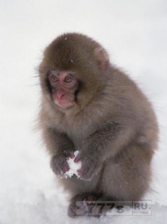 В японском зоопарке умертвили 57 макак