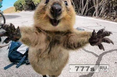 Удивительный момент редкая австралийская квокка вцепилась в фотографа