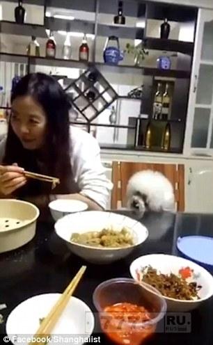 На веселых кадрах видно, как собака клянчит еду у своего владельца.