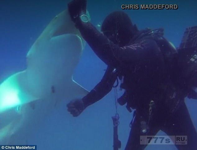 Акула подплыла к водолазу, чтобы он удалил крючок, застрявший в её животе.