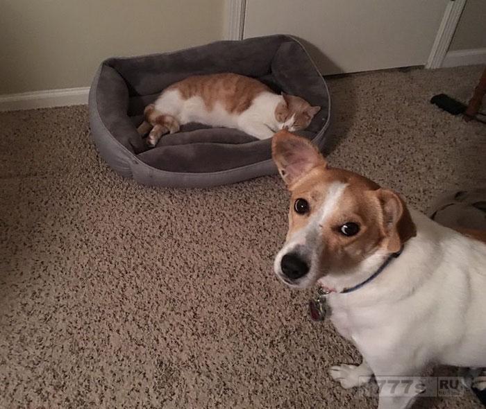 Веселые фотографии показывают, как кошки стащили у собак их кровати.