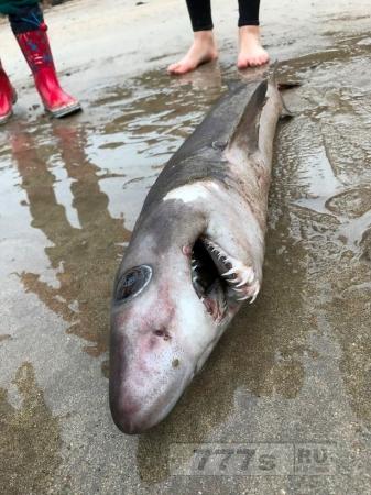 Редкая акула, обычно встречающаяся в тропиках обнаружена впервые на побережье Великобритании.