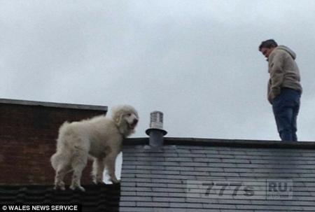 Владельцы вынуждены отказаться от странной горной собаки, которая постоянно залазит на крышу их дома.