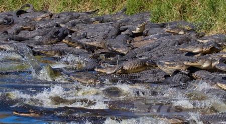 Сотни аллигаторов собрались у залива с водой во Флориде для отдыха.