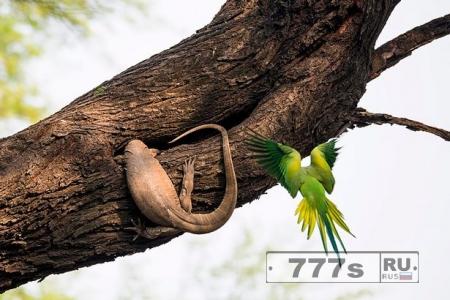 Сердитая птица огрызается, пытаясь защитить гнездо с яйцами от ящерицы.