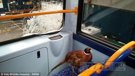 Отважный фазан выжил, ударившись об окно автобуса.