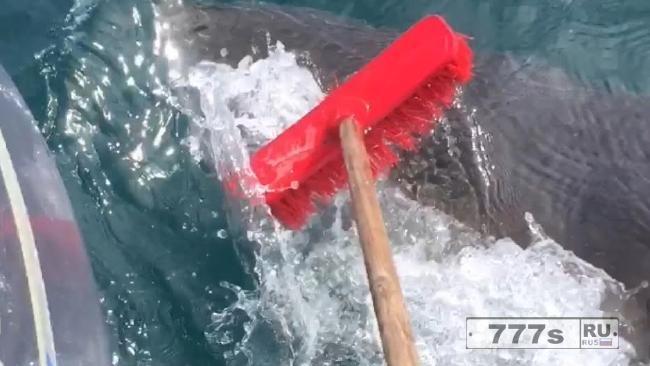 Рыбаки используют обычную швабру, чтобы защититься от крупной акулы.