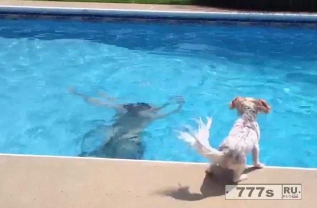 Очаровательная собака паникует, когда голова хозяина скрывается под водой в бассейне и прыгает чтобы спасти его.