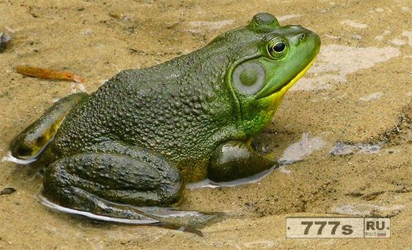 Мужчина из Южной Кореи умер после употребления отравленных жаб, которых он принял за съедобных лягушек.