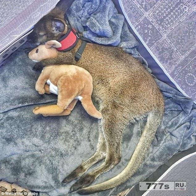 Любители животных с удовольствием посмотрят снимки своих любимцев, дремлющих с любимыми мягкими игрушками.