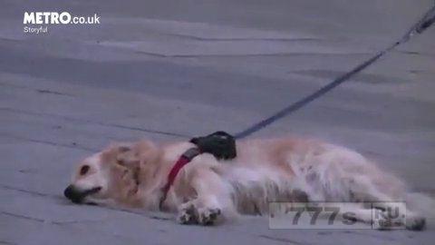 Собака так любит уличного музыканта, что она отказывается двигаться, пока он не завершит исполнение.