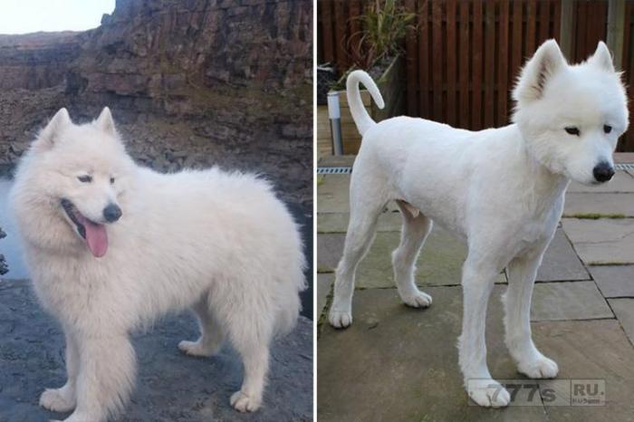 Владельцы домашних животных показали фотографии стрижки своих собак.