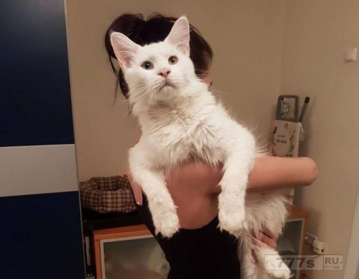 Знакомьтесь Тихон, гигантского кот мейн-кун, который любит обниматься.