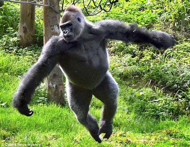 Танцующая горилла Киондо демонстрирует свои «балетные» движения.
