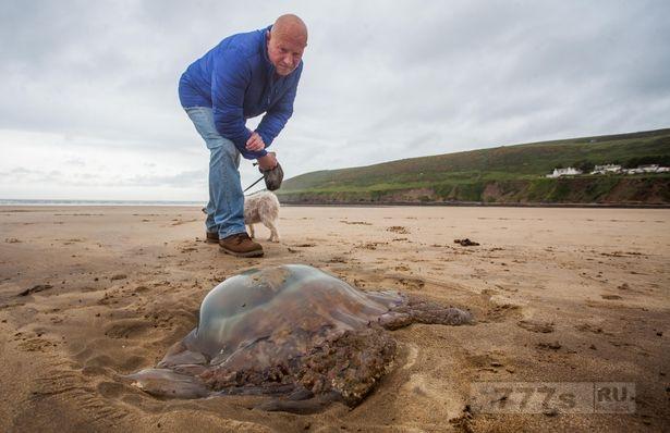 Метровую медузу выбросило на британский пляж, и она вызывает страх перед летним вторжением.