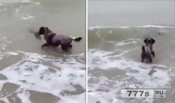 Собака повстречала тюленя в воде, обе стороны проявили интерес друг к другу.