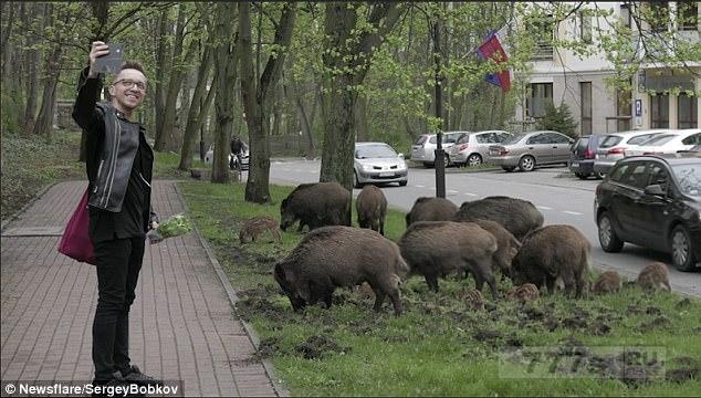 Дикие кабаны ошеломили местных жителей, когда они бродили с поросятами по центру польского города.