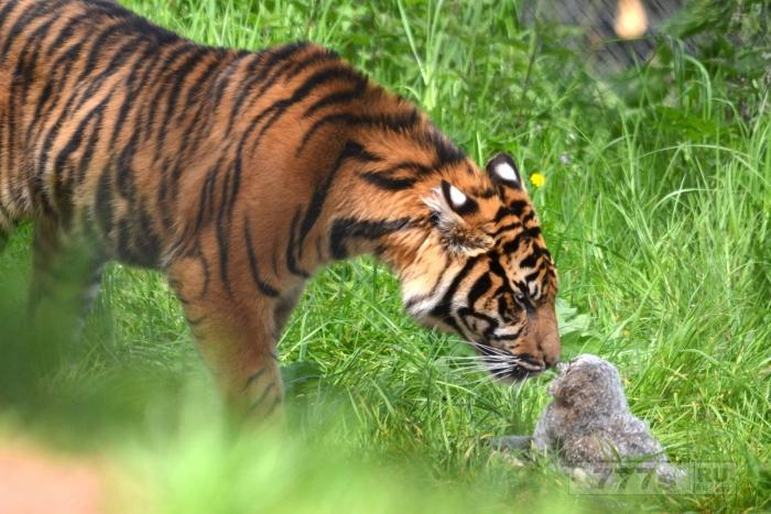 На фотографиях сова борется с любопытным тигром, который пришел посмотреть, как птица попала в зоопарк.