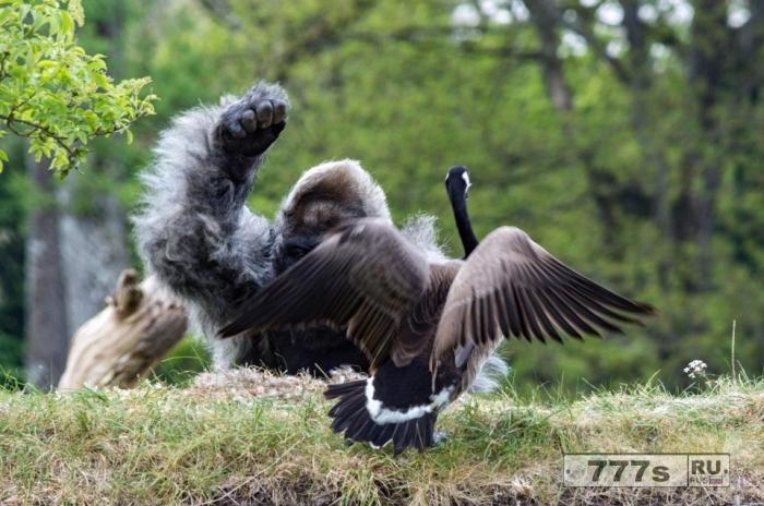 Неуклюжая пожилая горилла пытается отогнать противного гуся, прилетевшего на её остров.
