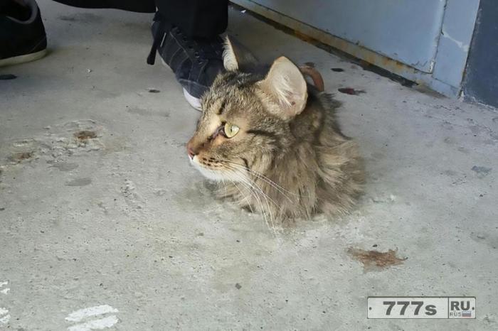 Обожравшаяся кошка, попавшая в цемент, была спасена прохожими, потому что она была слишком жирная, чтобы спастись самой.