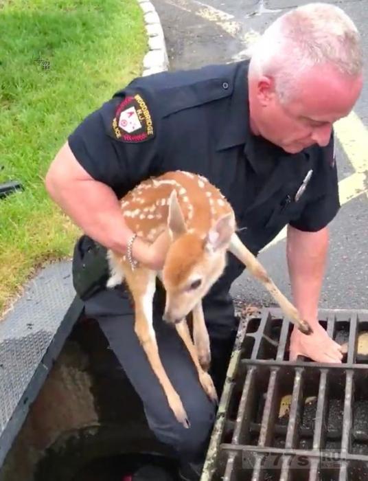 Очаровательный олененок, был спасен полицейским из дренажного колодца.