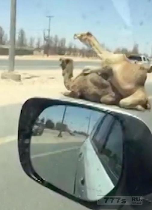 Группа британцев была ошеломлена, когда верблюды стали спариваться остановив движение по автостраде.