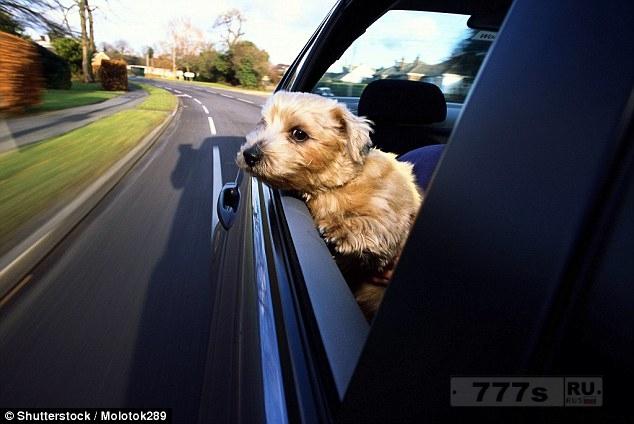 Если в Британии вы разрешаете своей собаке высунуть голову из окна автомобиля, то вы можете потерять страховку.