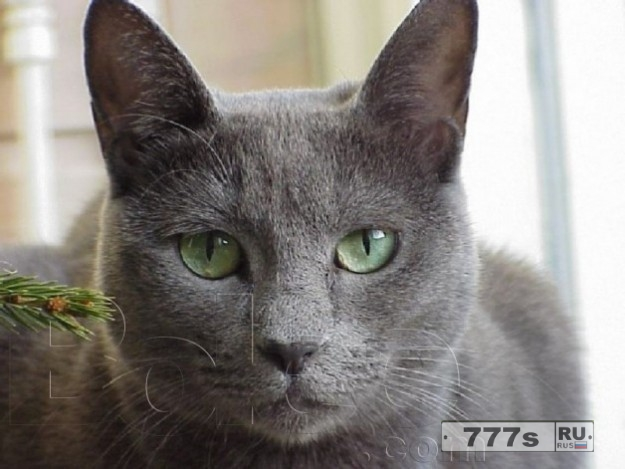 11 причин, почему российские голубые кошки являются лучшими.
