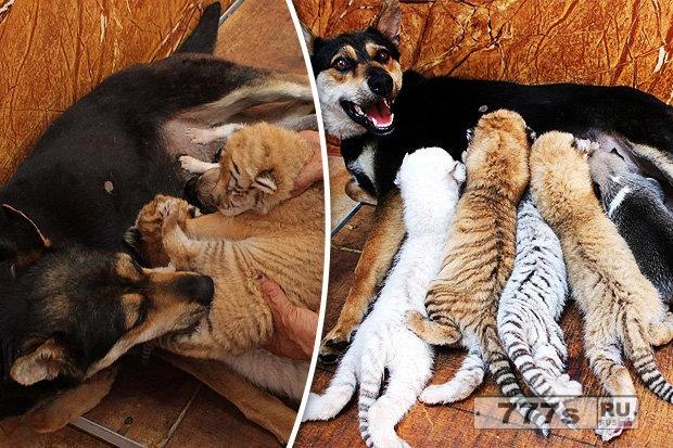 Тигрят выкармливает собака