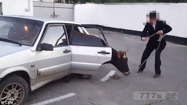 Шокирующий момент, когда фермер вытаскивает корову с заднего сиденья автомобиля после того, как она была украдена.