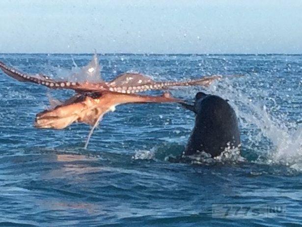 Три туриста стали свидетелями эпической битвы на смерть между огромным 120-килограммовым тюленем и осьминогом.
