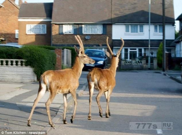 Необычные фотографии показывают, что олени бродят по улицам Великобритании.