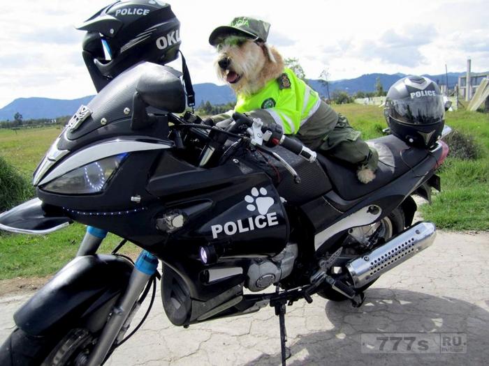 Бродячую собаку взяли на работу в полицию.