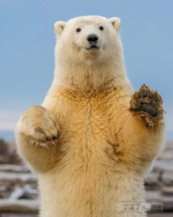 У полярного медведя явно хорошее настроение, он танцует «Макарену», улыбаясь на камеру.