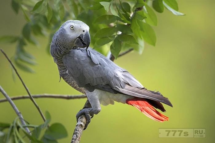Рокси депрессивный попугай чувствует себя намного лучше после того, как ему прописали Прозак.
