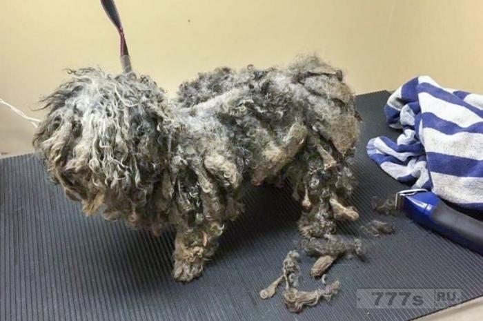 Спасенная собака по прозвищу Боб Марли из-за «дредов» теперь, после стрижки выглядит как другой пёс