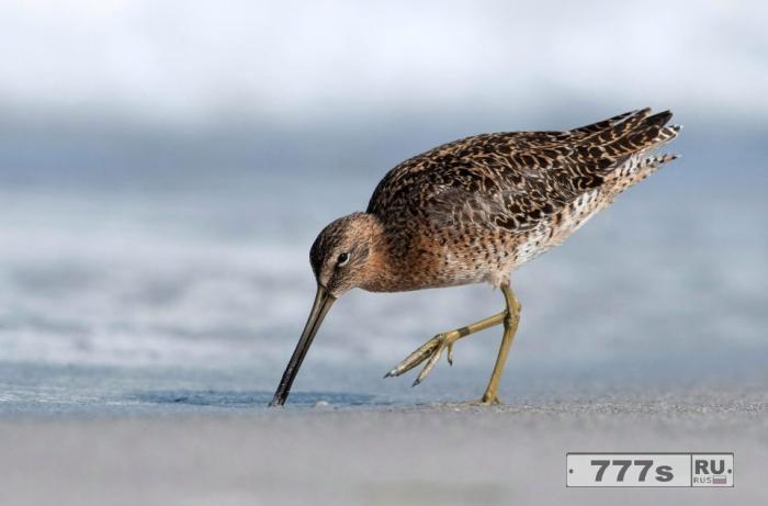 Птица аж вся извивается, чтобы достать длинного червяка из песка