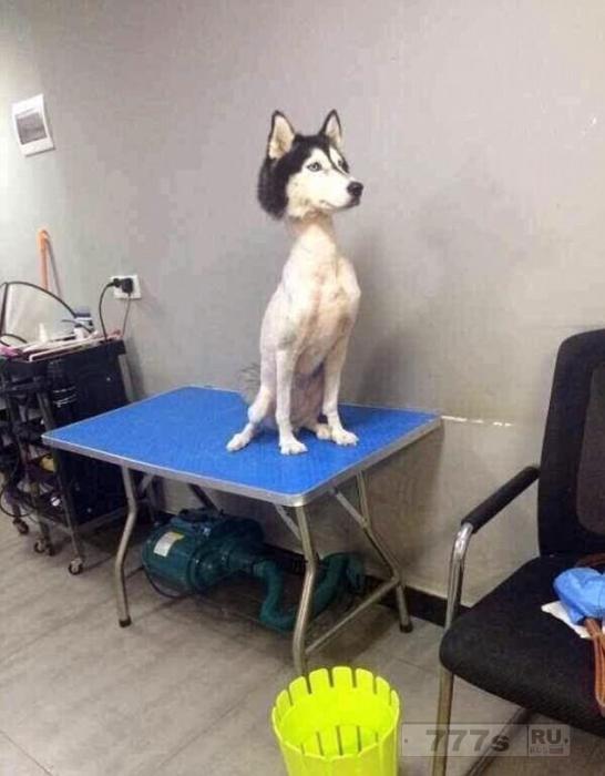 «Ну разве это не мило!»: Собака хаска была подстрижена, а пользователи социальных сетей беспокоятся, что над ней пошутили.