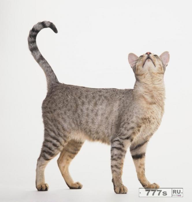 Кошки завоевали мир после того, как древние египтяне научили их, как «подружится» с людьми.