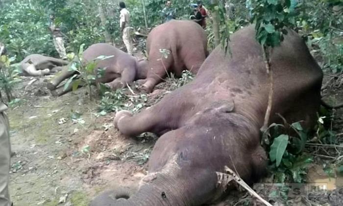 На снимках показано стадо слонов, убитых высоковольтными электрическими кабелями.