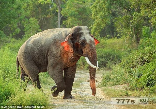 Красноухий слон был сфотографирован в Индии.