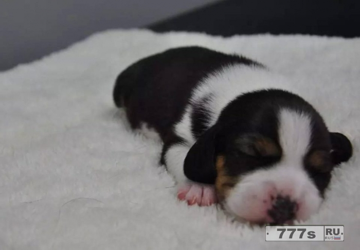 Этот пушистый щенок – клон и супер собака выведенный китайскими учеными.