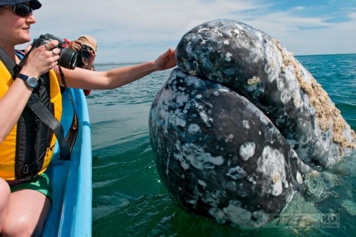 Эти могучие детеныши серых китов любят позировать для своих знакомых, поскольку они подплывали близко к тур группе.