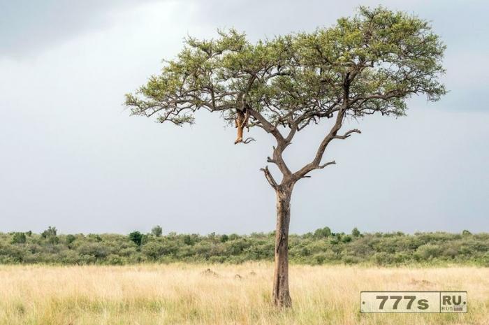 Можете ли вы заметить леопарда на этом дереве? Большая кошка ошеломляюще замаскировалась.