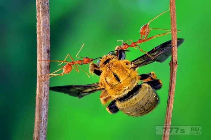 Крошечный муравей поднимает пчелу, как будто он находится на анаболических стероидах.