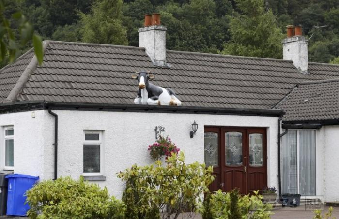 Мужчина возвращается домой из отпуска, и находит на крыше своего дома корову.