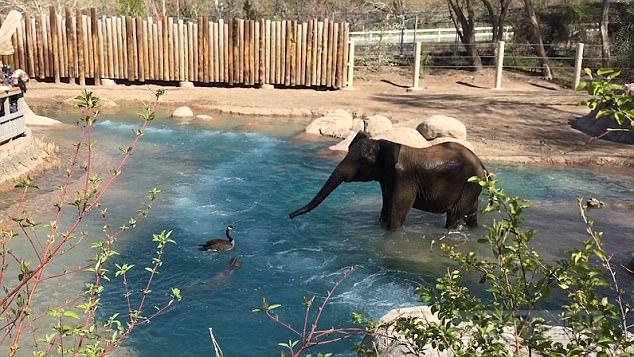Разгневанный слон поругался с надоедливым гусем в зоопарке.