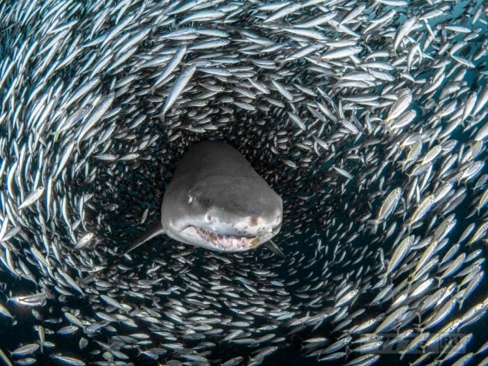 Потрясающие кадры - тигровая акула в окружении маленьких рыбок.
